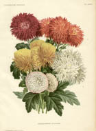 Chrysanthemes D'Automne
