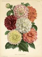 Dahlias from L'Illustration Horticole