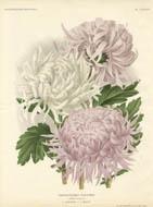 Chrysanthemes D'Automne
