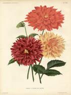 Dahlia a Fleurs de Cactus