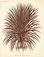 Palms from L'Illustration Horticole