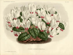 Ornamental Flowers from L'Illustration Horticole