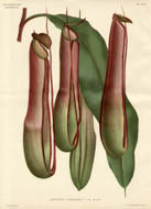 Specialty Plants from L'Illustration Horticole