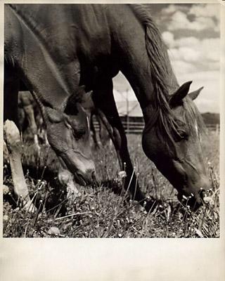 Photographs of Arabian Horses
