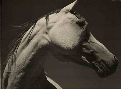 Photographs of Arabian Horses