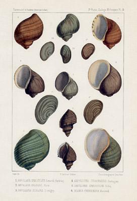Ampullaria Shells