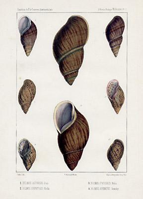 Bulimus Shells