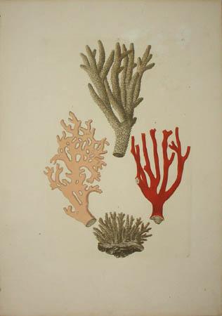 [Coral] Plate A.II