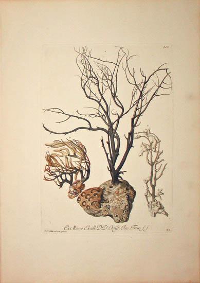 [Coral] Plate A.VI