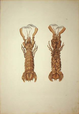 [Crayfish] Plate F.2
