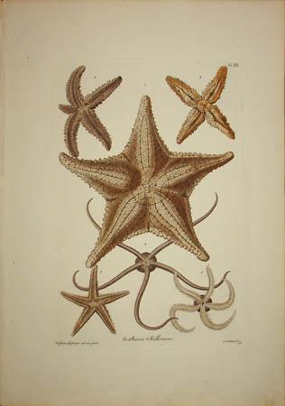 [Starfish] Plate G.III