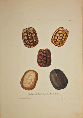 [Turtle Shells] Plate L.II