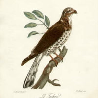 Prints of African Birds of Prey