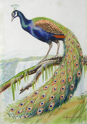 Natural History Art Birds Peacock Charles Liedl Antique