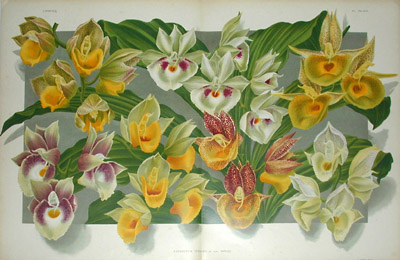Linden Orchid Chromolithograph