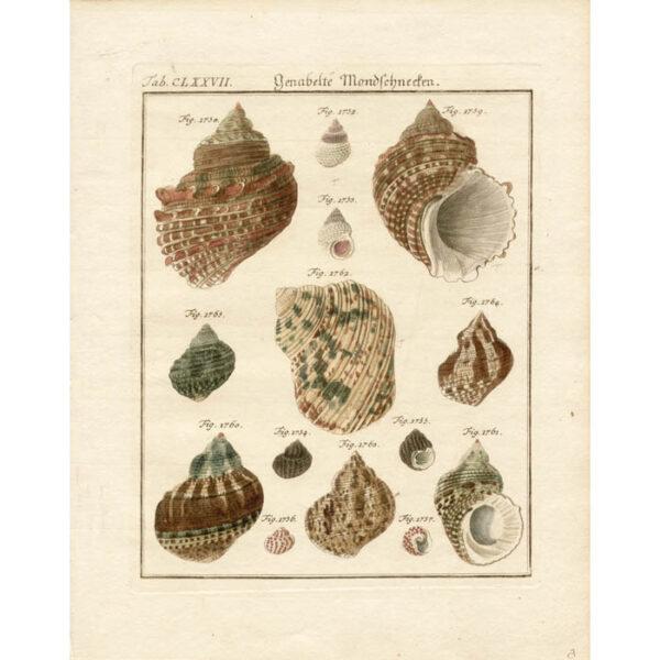 Genabelte Mondschnecken [Moon Snails], Plate 177. $475