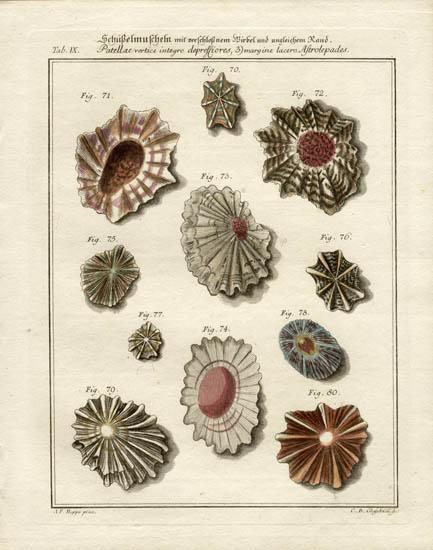Schüßelmuscheln. [Bowl-shaped shells]
