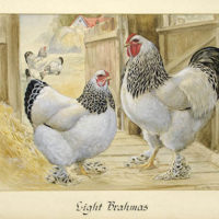 Light Brahmas — Purebred American Chickens
