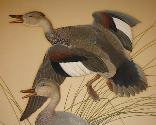 Gadwall Ducks