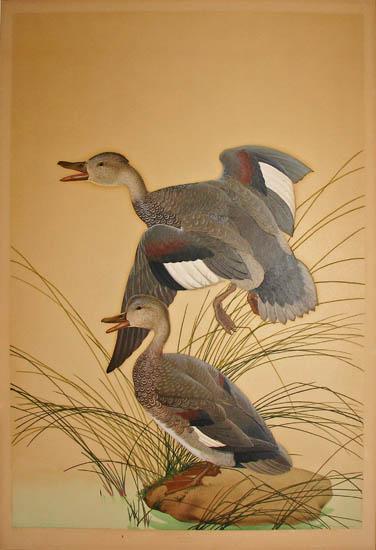Gadwall Ducks