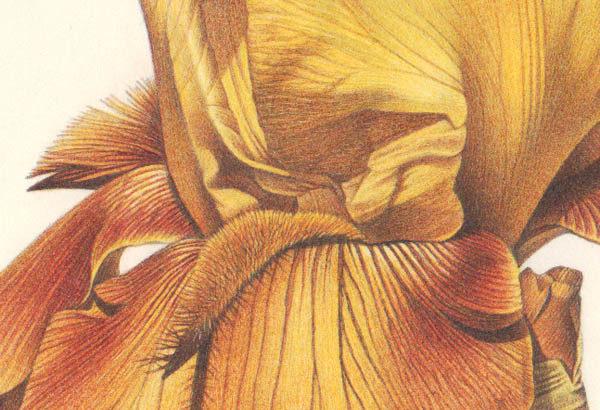 Pirouette: Bearded Iris