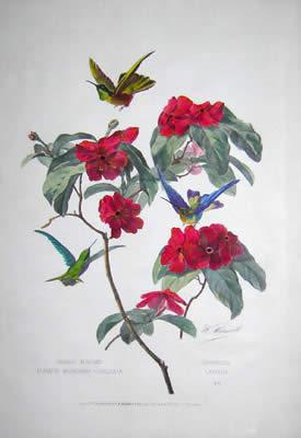 Oiseaux Mouches Clarisse. Bourciera-Torquata, Franciscea Latifolia, No. 6. [Clarisse Hummingbirds. Collared Shell Brunfelsia Australis]