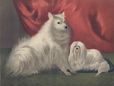 Pomeranian Dog and Maltese
