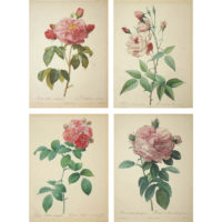 Four Prints from Redoute's Les Roses