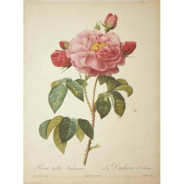 Redoute, Rosa Gallica Aurelianensis/ La Duchesse d'Orléans