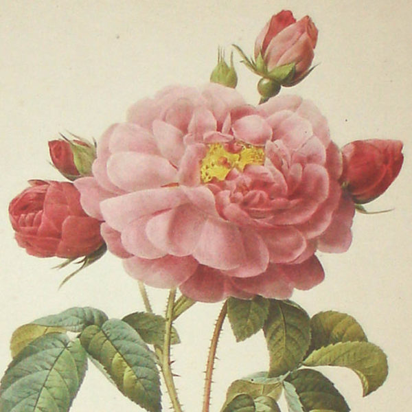 Rosa Gallica Aurelianensis, detail