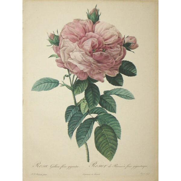 Redoute, Rosa Gallica flore giganteo/ Rosier de Provins à fleur gigantesque