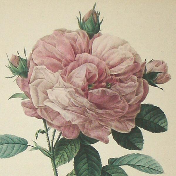 Rosa Gallica flore giganteo, detail