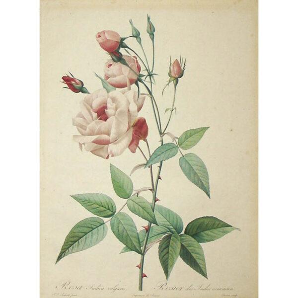 Redoute, Rosa Indica vulgaris/ Rosier des Indes commun