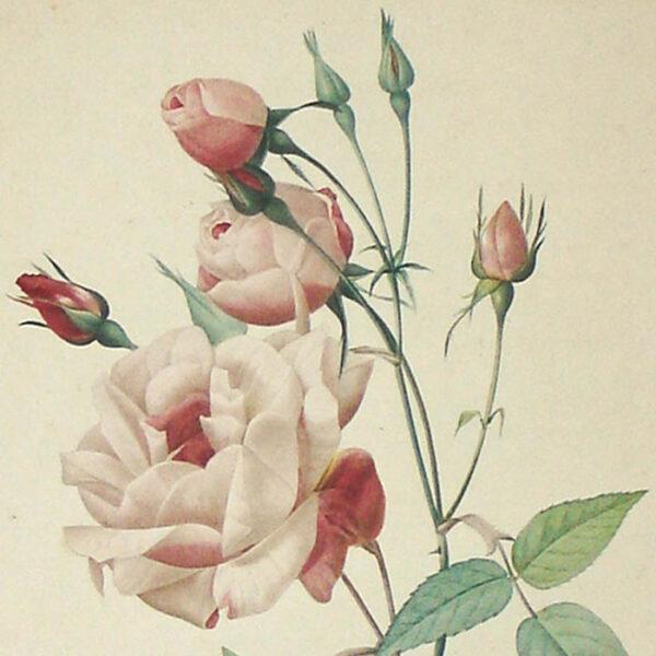 Rosa Indica vulgaris, detail