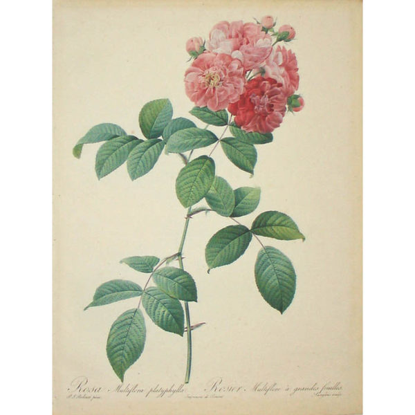Redoute Rosa Multiflora platyphylla/ Rosier Multifore à grandes feuilles