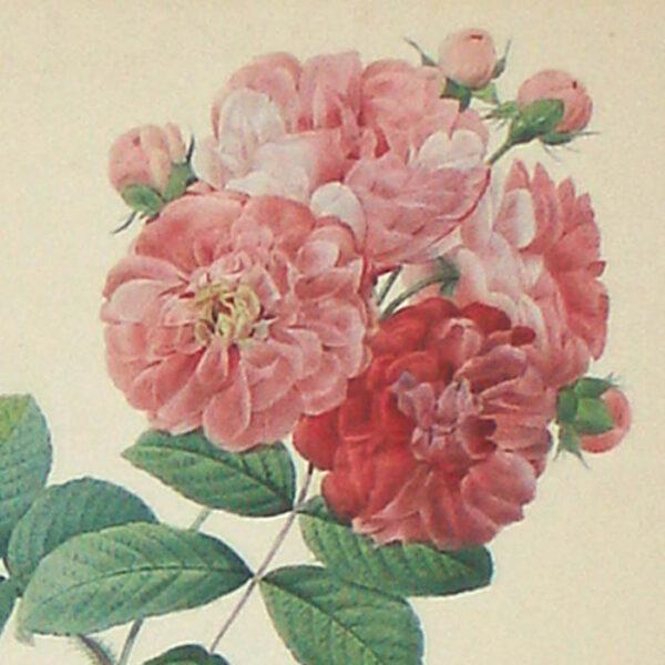 Rosa Multiflora platyphylla, detail