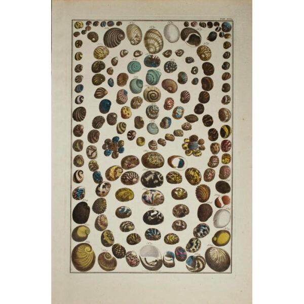 Albertus Seba, Seashells, Plate 41