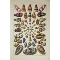 Albertus Seba, Seashells, Plate 42