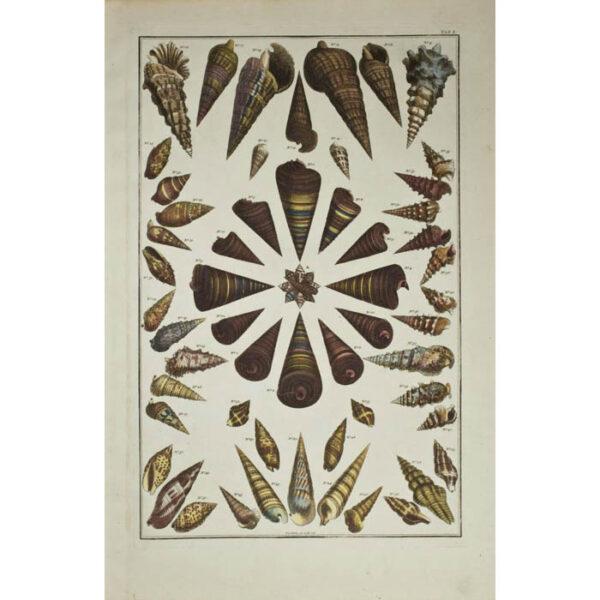 Albertus Seba, Seashells, Plate 50