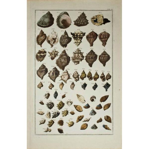 Albertus Seba, Seashells, Plate 60