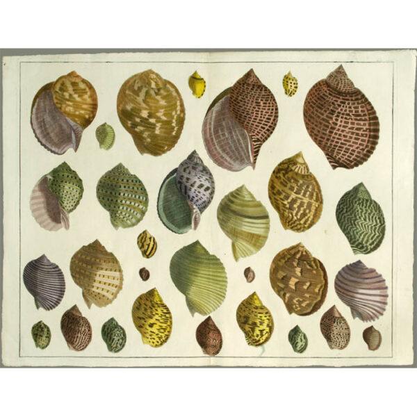 Seba Shells Tab. LXIX [Plate 69]