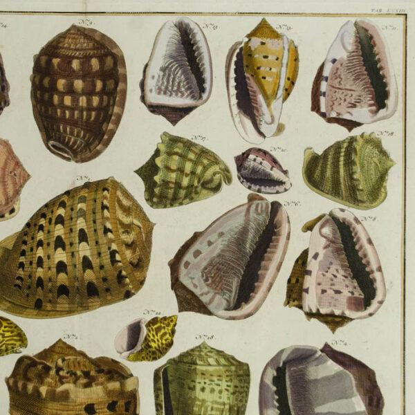 Seba Shells Tab. LXXIII [Plate 73]
