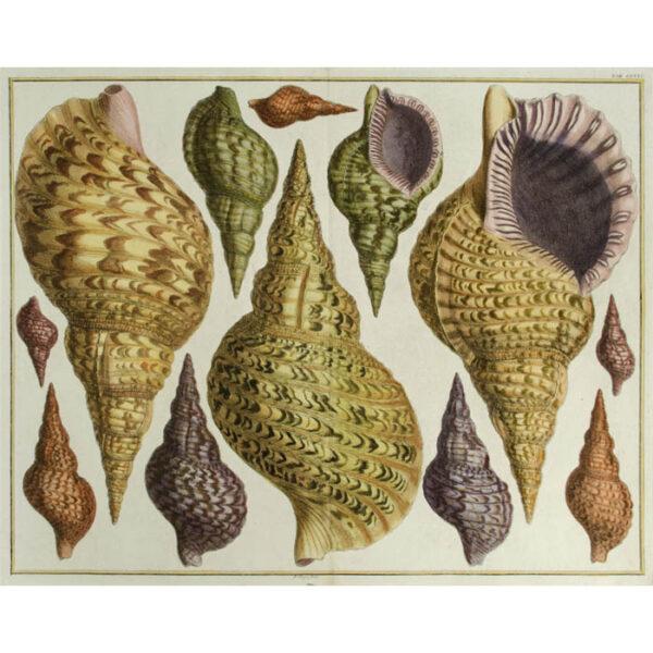 Seba Shells Tab. LXXXI [Plate 81]
