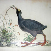 Study of a Common Coot