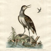 Le Tringa au pie de Foulque, Tab XCI [The Red Necked Phalarope, Plate 91]
