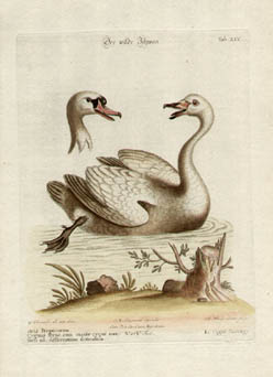 Le Cigne Sauvage, Tab XLV [The Wild Swan]