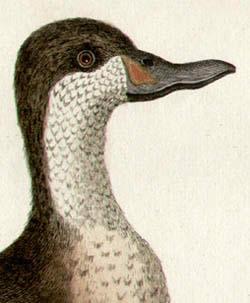 Canard de Bahama Tab. LXXXVI [Bahama Duck], detail