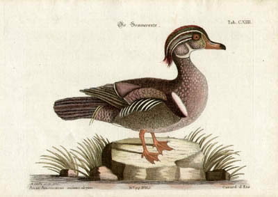 Canard d'Ete Tab. CXIIII [Summer Duck]