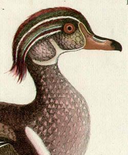 Canard d'Ete Tab. CXIIII [Summer Duck], detail