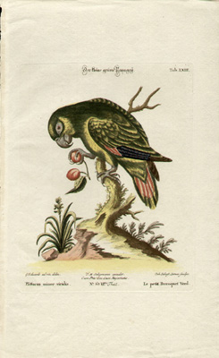 Le petit Perroquet Verd, Tab LXIII [Small green parrot]